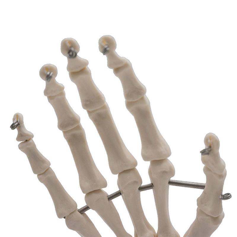 09da Human Hand Joint Anatomical Skeleton Model Medical Science ...